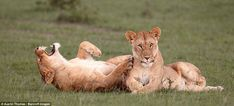 Get it?: An African lion looks like she finds something hilarious in the Maasai Mara in Kenya back in September 2011