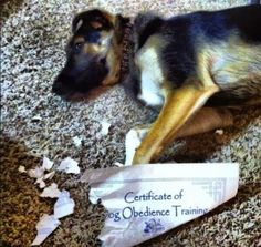 Funny Dog Certificate Obedience Training