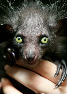 The 'Aye Aye'...some find it creepy and ugly but I, on my end, find it cute as a button and very fascinating...