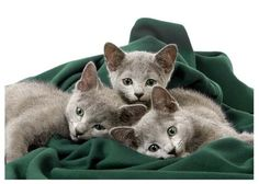 Russian Blue Cats-- baby Jamie and nemo!