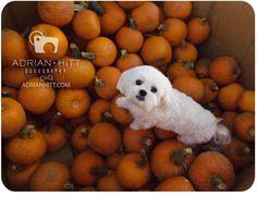 Maltiepoo Maltipoo Puppies, Maltese