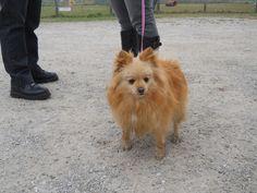 Un partecipante al dog walking: spitz nano tedesco rosso