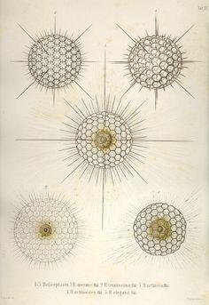"""Plate 9. Taf. IX. From """"Die Radiolarien (Rhizopoda Radiara). Eine Monographie von Dr. Ernst Haeckel. 1862."""" Copperplates"""