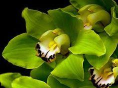 Cymbidium Green Orchid