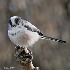 longtailed | kimcomania long tailed tit