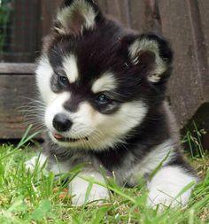 Moko the Alaskan Klee Kai who will not grow as large as a Husky.  So cute!