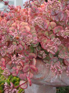 Photo of Sedum (Hylotelephium sieboldii) uploaded by Paul2032