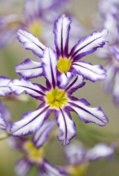 Leucocoryne | Leucocoryne pauciflora at Kew Gardens. | Brian Haslam | Flickr