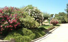 Fioritura degli oleandri all'interno del Parco del Colle di San Michele San Michele, Sidewalk, Gardens, City, Plants, Side Walkway, Outdoor Gardens, Walkway, Cities