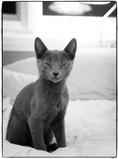Russian Blues. Truly my favorite type of kitty due to their bumbly personality.