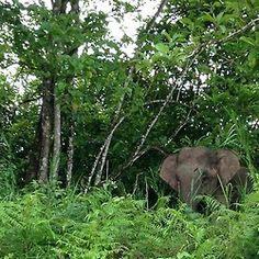 At the Kinabatangan river I saw a bunch of elephants. Just amazing! Sabah, Malaysia