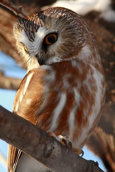 Northern Saw-whet Owl Beautiful Owl, Most Beautiful Animals, Beautiful Creatures, Owl Photos, Owl Pictures, Owl Pics, Saw Whet Owl, Nocturnal Birds, Tawny Owl