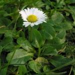 Daisy: the herbal medicine chest in your back yard