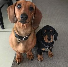 He's mniminaminame o what the heck Funny Dachshund, Dachshund Puppies, Cute Puppies, Dogs And Puppies, Doggies, Wiener Dogs, Daschund, Cute Cats And Dogs, Cool Pets