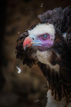 Who's a pretty boy? Pretty Birds, Beautiful Birds, Weird Birds, Wild Creatures, Animal Sketches, Vulture, Birds Of Prey, Creature Design, Beautiful Creatures