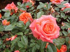 Portland, Oregon Rose Gardens