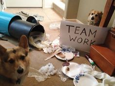Animal Shaming - 17 Adorable Partners in Crime Corgi Pictures, Funny Animal Pictures, Funny Animals, Cute Animals, Animal Memes, Animal Captions, Animal Funnies, Random Pictures, Funny Babies