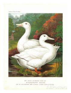 Aylesbury Ducks Kunst bij AllPosters.nl