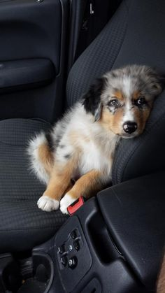 Australian Shepherd Full Grown Beautiful Dogs - - Female Dogs In Weddings - - - Super Cute Puppies, Cute Baby Dogs, Cute Dogs And Puppies, I Love Dogs, Doggies, Cutest Dogs, Adorable Dogs, Big Dogs, Australian Shepherd Puppies