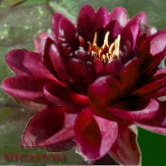 ALMOST BLACK (HARDY WATERLILY) L