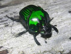 Metallic dung beetle (Oxysternon conspicillatum) Bugs have the coolest colors and markings!