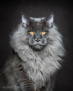 Dat we dol zijn op onze twee doodgewone huis-tuin-en-keukenkatten die al jaren deel uitmaken van de familie. Maar we moeten wel toegeven dat de katten die fotograaf Robert Sijka portretteert van uitzonderlijke schoonheid zijn. Maine coons zijn het, en ze zijn de grootste katten ter wereld. De maine coon is wellicht het meest indrukwekkende kattenras