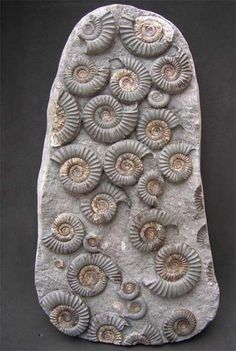 Name: Arnioceras semicostatum, Age: Jurassic, Lower Lias, Semicostatum Zone, Size:	Size of multi block 290mm x 155mm, Location:	Robin Hood's Bay, Nr Whitby, North Yorkshire, UK, Weight: 4kg; Photo © The English Ammonite Company