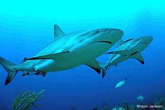 Honduran President Porfirio Lobo Sosa announced a permanent shark sanctuary in Honduran waters today, building on the country's 2010 shark-f...