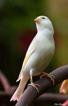 Kuşlar Pretty Birds, Beautiful Birds, Canary Birds, All Birds, Colorful Birds, Nature Animals, Photos, Pictures, Cute Baby Animals
