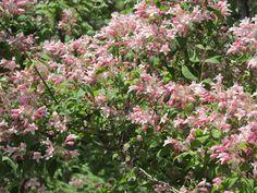 Beauty Bush. Kolkwitzia amabilis.