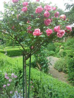 Rosa Leonardo Da Vinci (stam).  Is een donker roze trosroos, en is een doorbloeier. In 2010 heb ik de stamroos op mijn verjaardag gekregen.