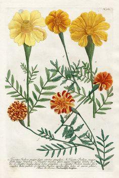 Tagetes Indica major flore citrino simplici