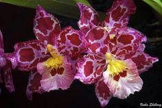 Odontoglossum - Flickr - Photo Sharing!