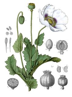 Papaver somniferum, or opium Poppy. It was used to soothe painful tumors and inflammations.