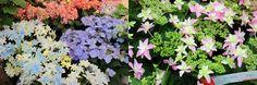「ハンズマンで春を満喫!」10:  アジサイの花びらに見える色のついた部分は、実は額なのだとか。それにしても本当にきれいです。