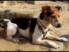 Emma Jack-Russell-Terrier | Pawshake