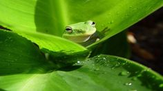 The Australian green tree frog, simply green tree frog in Australia, White's tree frog, or dumpy tree frog is a species of tree frog native to Australia and New Guinea, with introduced populations in New Zealand and the United States. Frog Wallpaper, Tier Wallpaper, Planets Wallpaper, Animal Wallpaper, Nature Wallpaper, Spring Wallpaper, Green Wallpaper, Iphone Wallpaper, Green Animals