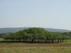 Formentera´s biggest fig tree - Formentera