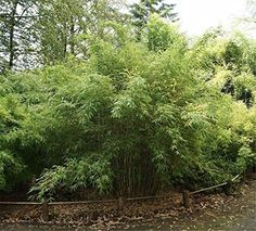 Fargesia murielae Standing Stone - Robuster Garten-Bambus - 40-60 cm - immergrüne Bambuspflanze