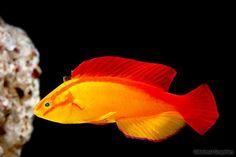 picture of Flame Wrasse Hawaii Male Med Cirrhilabrus jordani Marine Aquarium Fish, Saltwater Aquarium Fish, Saltwater Tank, Marine Fish, Freshwater Aquarium, Underwater Creatures, Ocean Creatures, Colorful Fish, Tropical Fish