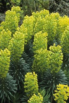Euphorbia characias subsp. wulfenii - Mediterranean Spurge. (H) 1.2m x (W) 1.2m. Water requirements: Drought tolerant. Position: Full Sun/Part Shade. Has amazing green bracts and beautiful blue/green folaige. Can be grown from cuttings.