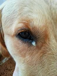 Various Eye Infections In Dogs Eye Infection In Dogs Eye