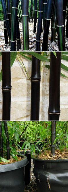 Black Bamboo Plant -We have been growing bamboo in our garden for twenty years and love it! Outdoor Plants, Potted Plants, Garden Plants, Outdoor Gardens, Black Bamboo Plant, Gothic Garden, Bamboo Garden, Black Garden, Black Flowers