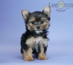 #YorkshireTerrier #Charming #PinterestPuppies #PuppiesOfPinterest #Puppy #Puppies #Pups #Pup #Funloving #Sweet #PuppyLove #Cute #Cuddly #Adorable #ForTheLoveOfADog #MansBestFriend #Animals #Dog #Pet #Pets #ChildrenFriendly #PuppyandChildren #ChildandPuppy #LancasterPuppies www.LancasterPuppies.com Puppy Pads, Lancaster Puppies, Yorkshire Terrier Puppies, Animals Dog, Dog Park, Puppies For Sale, Mans Best Friend, Pretty Pictures, Snuggles