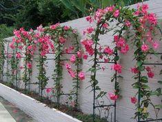 Mandevilla Pink Mandevilla Vine Garden To Doorstep - Inspired Room Dream Garden, Garden Art, Mandevilla Vine, Garden Arches, Garden Trellis, Front Yard Landscaping, Flower Decorations, Diy Flowers, Garden Projects