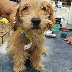 New York, NY - Australian Terrier. Meet Chrissy a Dog for Adoption.