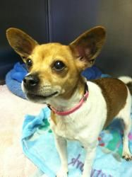 Tara is an adoptable Chihuahua Dog in Westfield, MA. Meet Tara - She is looking for her forever home. If interested, please contact the Westfield Animal Shelter at 413.564.3129...