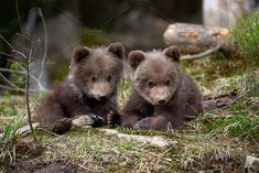 [ Wild Brown Bear Cub Closeup In Summer Forest Cute Baby Animals, Animals And Pets, Funny Animals, Animal Babies, Wild Animals, Oma Tattoos, Bear Cubs, Grizzly Bears, Tiger Cubs