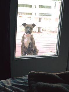 Lost Dog - Pit Bull Terrier - Lawrenceville, GA, United States 30045