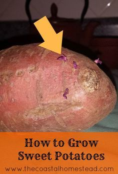 How To Grow Sweet Potatoes In 5 Easy Steps! - My Homestead Life How To Grow Sweet Potatoes In 5 Easy Steps! - My Homestead Life Sweet Potato Plant Vine, Sweet Potato Leaves, Sweet Potato Slips, Sweet Potato Vines, Sprouting Sweet Potatoes, Growing Sweet Potatoes, Grow Potatoes, Planting Potatoes, Potato Companion Plants